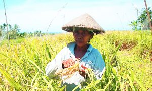 Harvesting white sticky rice