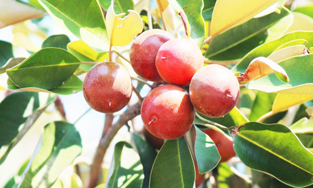 Sawo kecik fruit